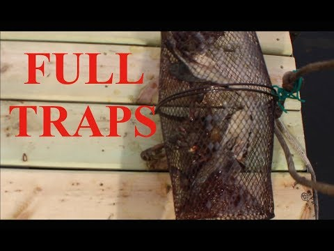 crayfish trapping
