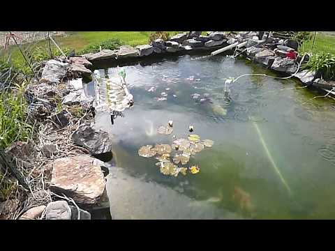 Butterfly Koi Starting to spawn