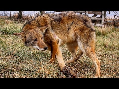 TRAPPING the ELUSIVE COYOTE in a COW PASTURE