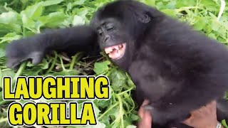 Laughing Gorilla Loves Being Tickled - Funny Viral Videos