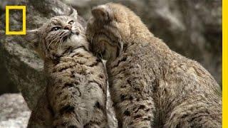 Filming Bobcats in Yosemite | America