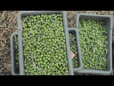 Fresh Stories: Handpicked Olives