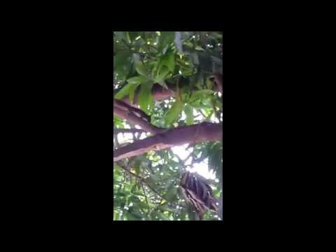 [9/9/2013] Squirrel on a mango tree beside my house.(*´ω`*)