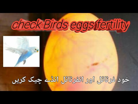 How to tell parrots eggs fertile or infertile. candling of eggs.2018