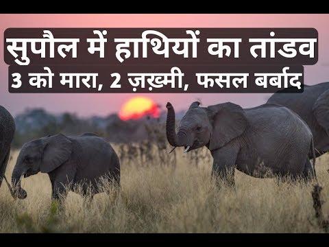 Xxx Mp4 Elephant Supaul Nepal त्रिवेणीगंज में हाथियों का तांडव 3 लोगों को कुचलकर मार डाला 3gp Sex