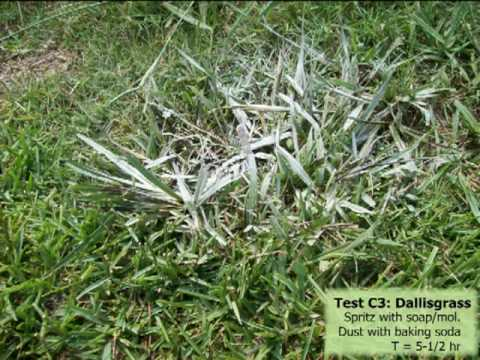 Baking Soda as a Post-Emergent Herbicide