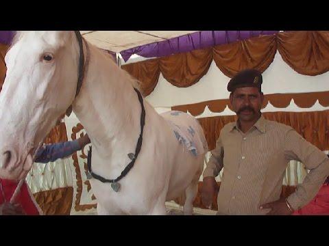 सफेद नुकरा घोडा 1.5 करोड़  कीमत   WHITE INDIAN HORSE ON SALE FOR 15 MILLION RUPEES COST