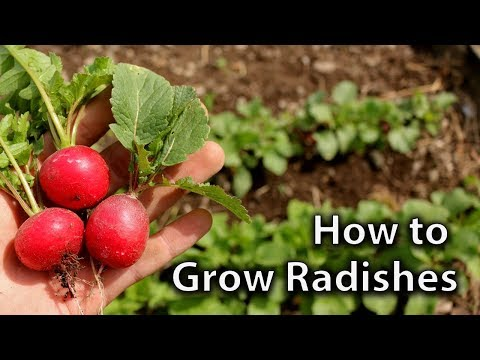 How to Grow Radishes (and get Continuous Harvests)