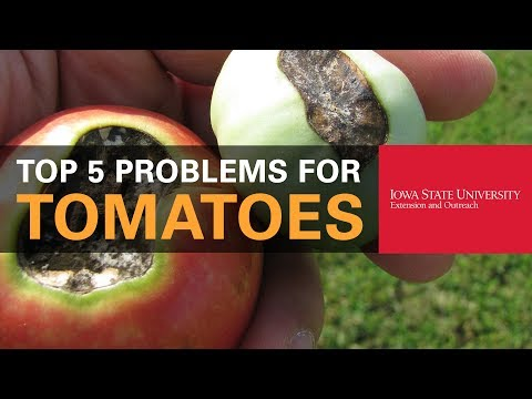 Top 5 Problems You Could Have When Growing Tomatoes