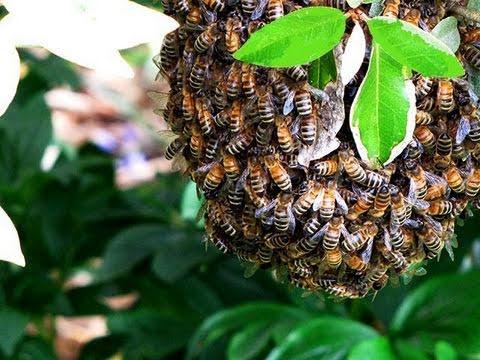 Catching a Wild Honeybee Swarm