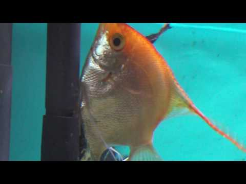 EXTREME CLOSE-UP: Angelfish laying eggs (Pt.2)