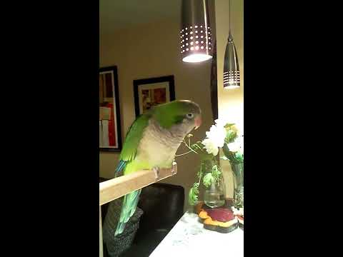 Budgie the Quaker Parrot can't stop talking