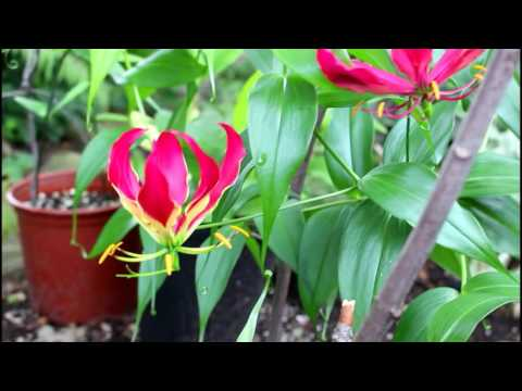 How to grow Gloriosa Lily (Climbing Lily or Flame Lily)