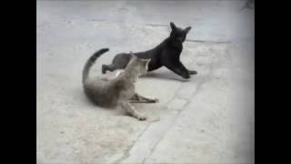 Complation   Best Cat Fights