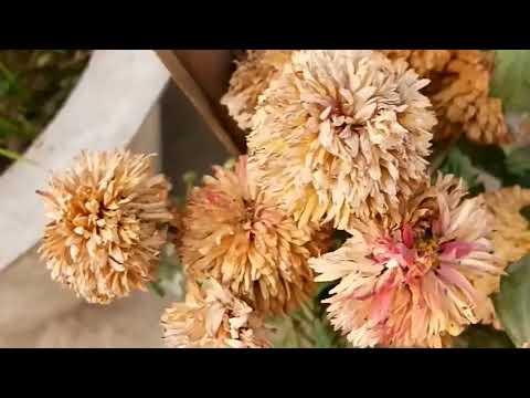 How to do Pinching of Chrysanthemum