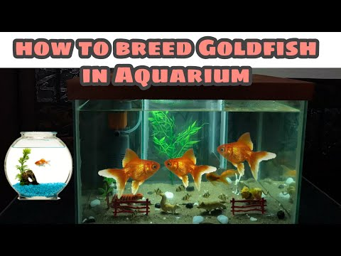 How to breed goldfish ,facts,tank mates &  tips complete in Hindi & Urdu with English subtitles