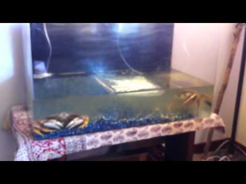 Dungeness Crab in home tank
