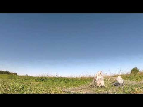 Falconry Bow net traping Red tail hawk