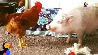 Rescue Pig And His Family Are Saving So Many Animals | The Dodo