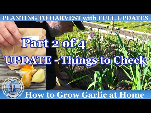 How to Grow Fall Garlic (Part 2 of 4)