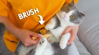 Do Munchkin Cats Like Brushing?