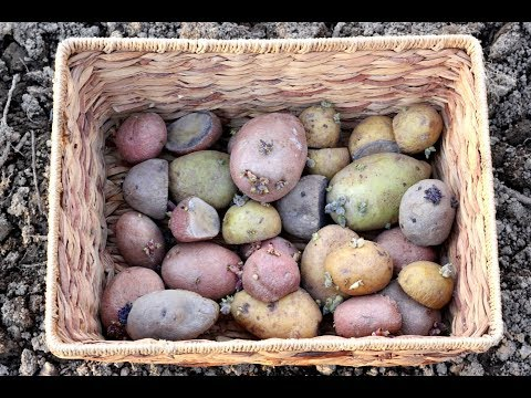 Planting Potatoes In The Garden, Under Straw-How To Grow Potatoes