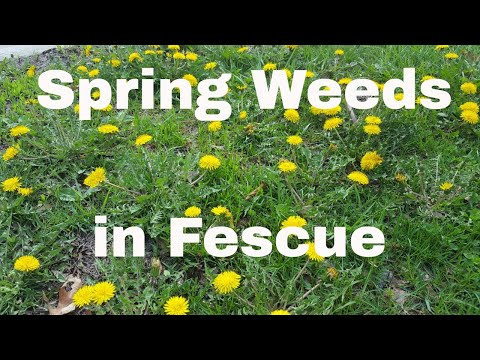 Weed Identification of Cool Season Weeds in a Fescue Lawn