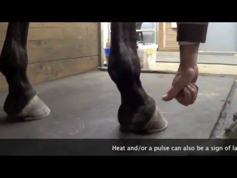 Finding the pulse in hoof by Equi-Learn