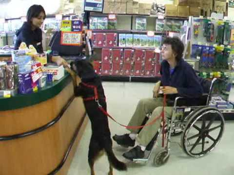 Clicker Trained Wheelchair Tasks for Assistance Dogs Part 2