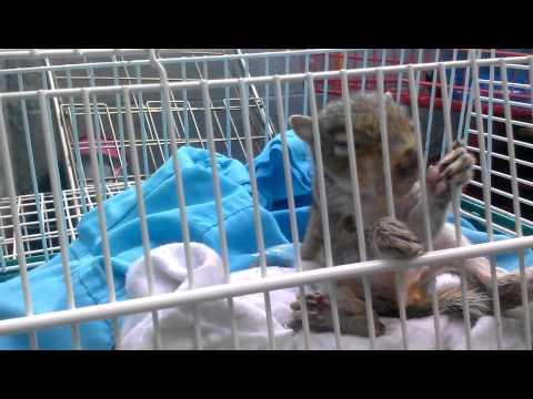 Baby squirrel drinking milk