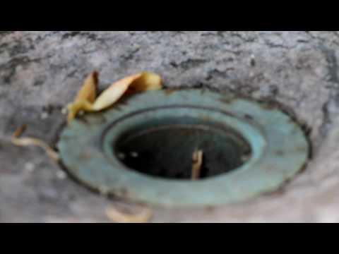 Ants in Drain