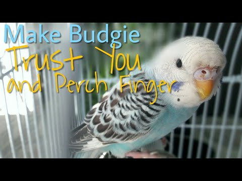 Part 1| How to make your budgie trust you and Perch Finger