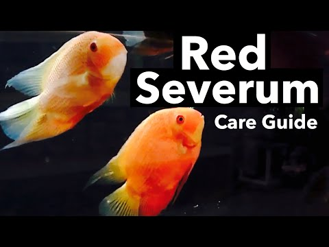Red Spotted Severum Care - Price, Size, Tank Mates