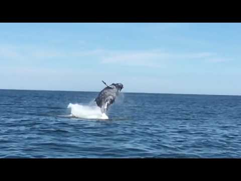 Amazing whale jump at the Jersey shore