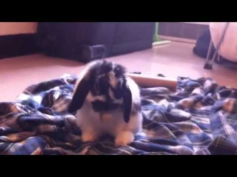 My Holland lop grooms himself!