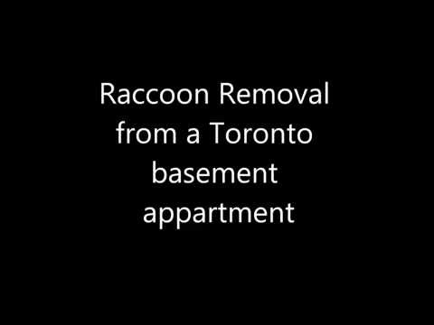 Raccoon Removal from Basement