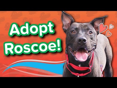 Adopt Roscoe // Pitty Mix // Adoptable Featurette