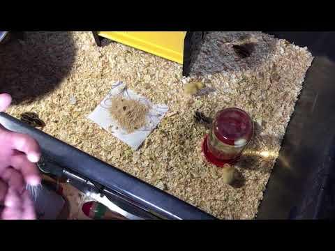 Quail Brooder : Quick quail minute