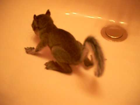 Potty Trained Baby Squirrel
