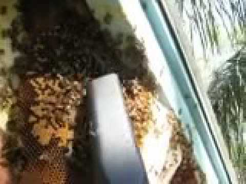 Live Bee Rescue 2 of 4