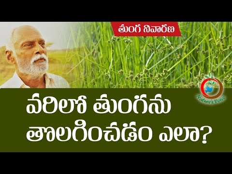 Natural Farming   How to Control Purple Nutsedge weed in Paddy