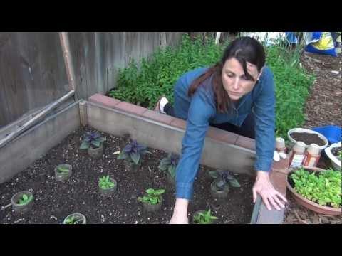 Growing and Using Basil