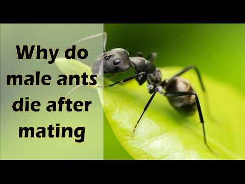 Why do male ants die after mating?   Tell me why