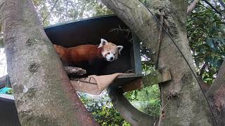 We're going inside our red panda habitat!