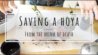 Saving a Hoya carnosa compacta from certain death