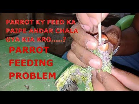||Parrots feeding problem || paipe andar jai tw kia kry only on PBI-Youtube