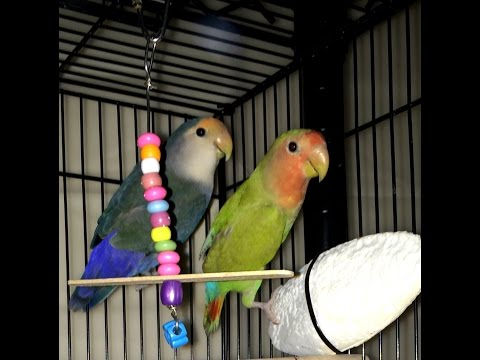 How to get your new adult  lovebird pair to start breeding faster.