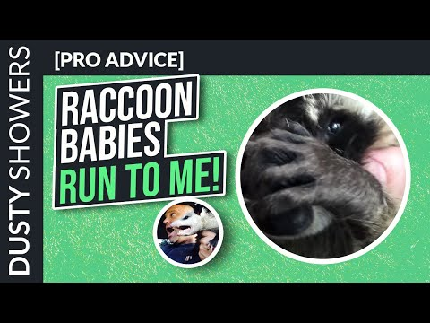 Baby Raccoons Attic