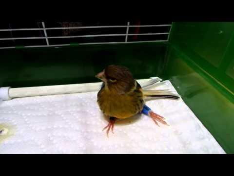 Canary Broken Leg   Shimmer Broke Her Leg