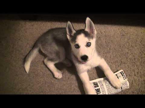 Puppy Siberian Husky bites toe